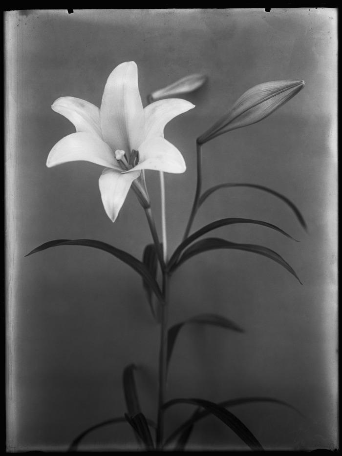 © Richard Tepe, Lilium longiflorum, 1914 Collectie Nederlands-Fotomuseum,